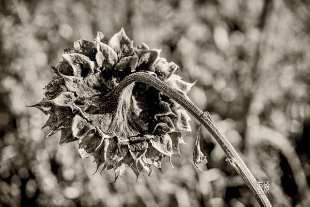 Vertrocknete Sonnenblume
